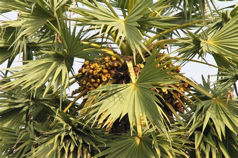 Trees and Plants: Cambodian Sugar Palm Tree