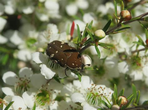 IMG_0008 Brown beetle with white spots   Here's a very