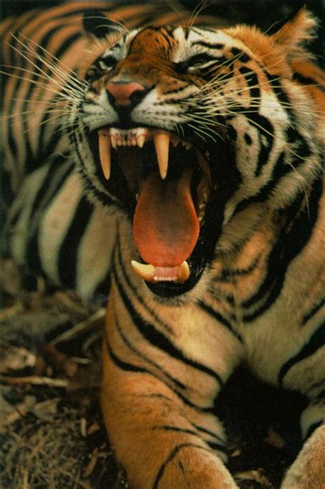 7 Things You Did Not Know About Tigers