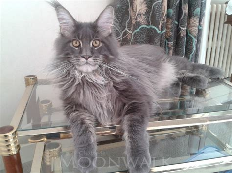 Chats Main Coon A Vendre